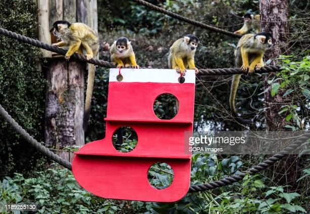 Squirrel Monkeys Get Into the Christmas Spirit at the ZSL London Zoo.