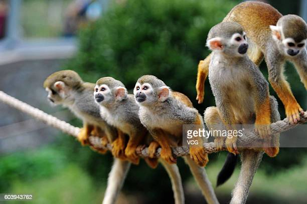 Squirrel monkeys look feeders setting 'mooncakes' above water on a rope at Forest Wild Animal World on September 13 2016 in Qingdao Shandong Province...