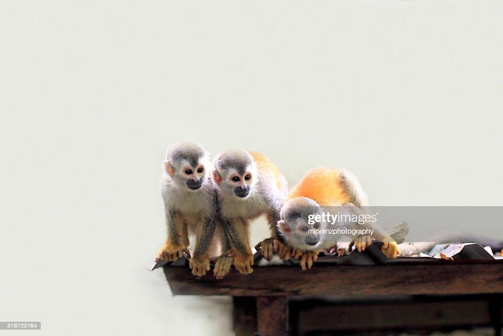 Squirrel Monkeys : Stock Photo