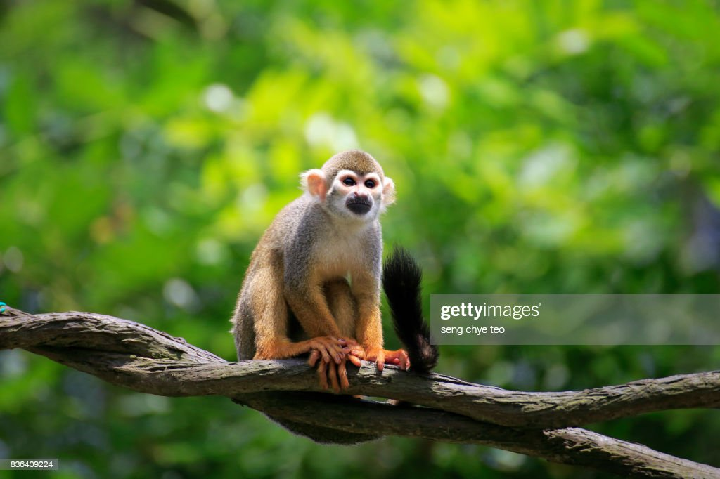 Squirrel Monkeys : Stock Photo
