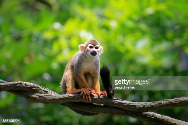 squirrel monkeys - monkeys stock photos and pictures