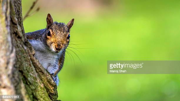 squirrel on a tree - gray squirrel stock pictures, royalty-free photos & images