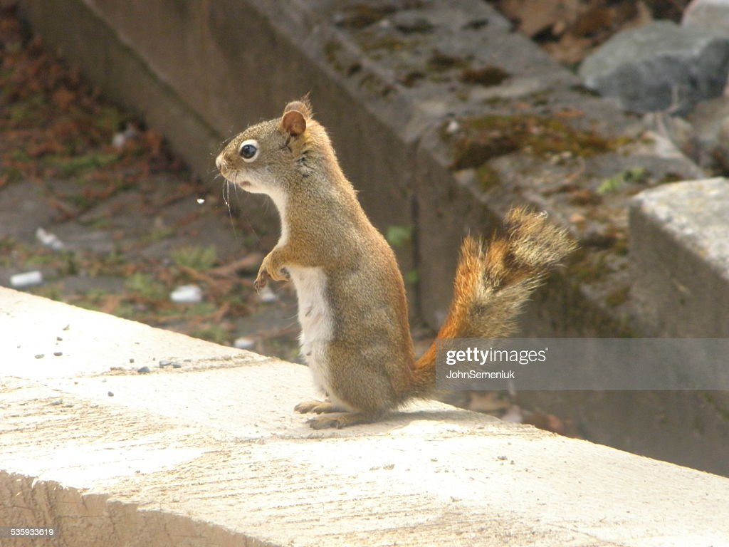 squirrel on board. : Stock Photo