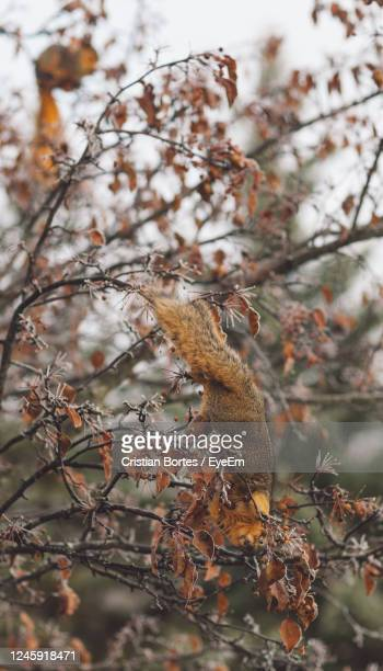 squirrel on branch - bortes stock pictures, royalty-free photos & images