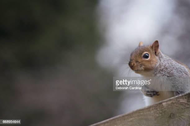 squirrel on fence - サットンコールドフィールド ストックフォトと画像