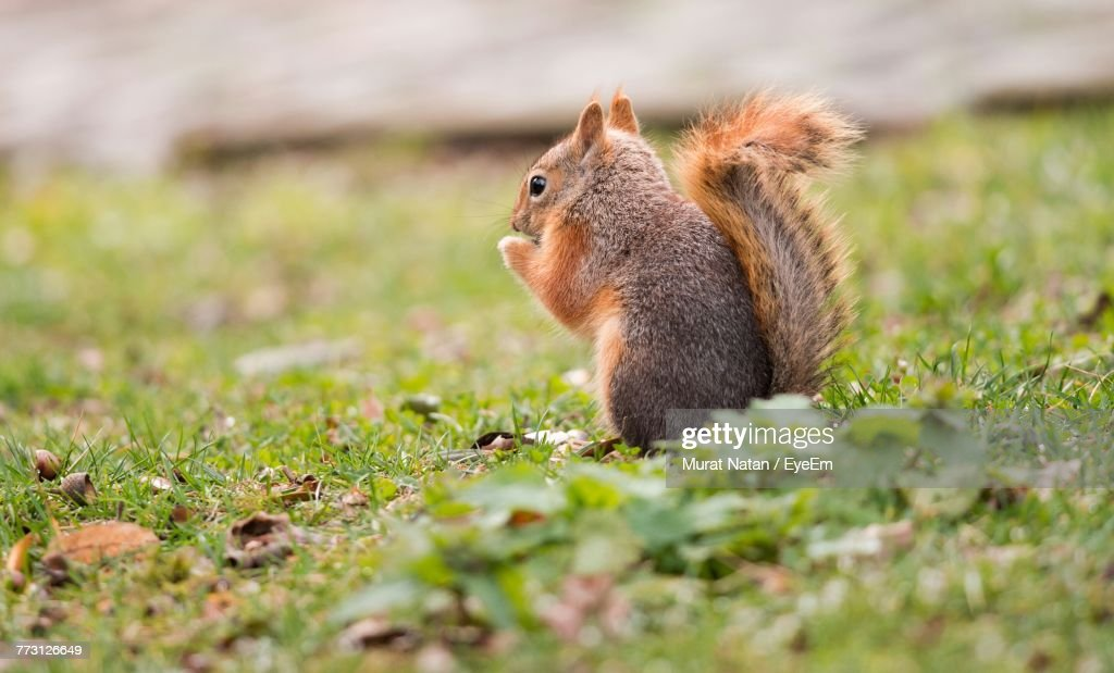 Squirrel On Field : Photo
