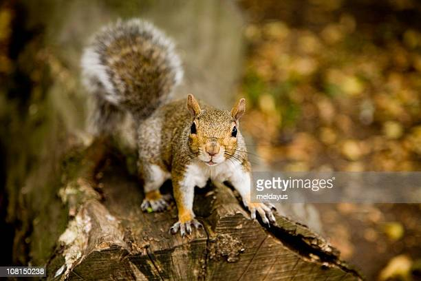 squirrel on log - gray squirrel stock photos and pictures