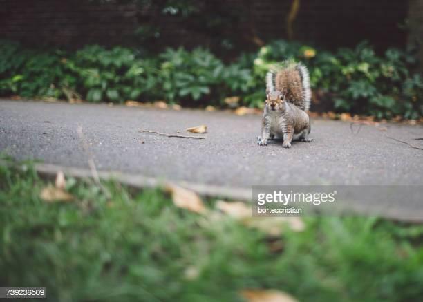 squirrel on road at park - bortes stockfoto's en -beelden