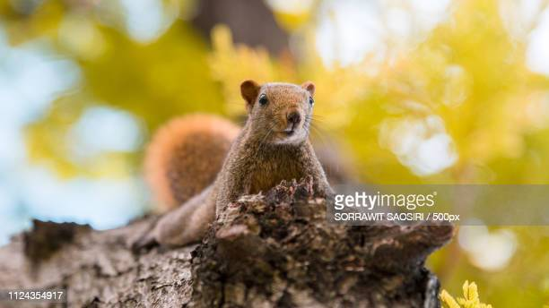 squirrel on tree - kegelrobbe stock pictures, royalty-free photos & images