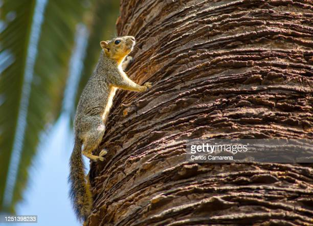 squirrel on tree - pasadena california stock pictures, royalty-free photos & images