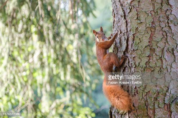 squirrel on tree trunk looking at camera - リス ストックフォトと画像