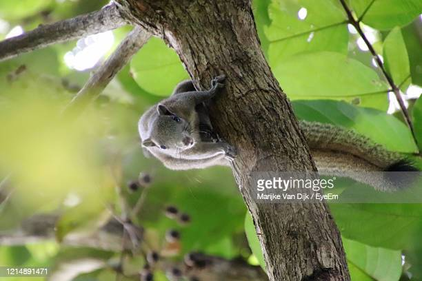 squirrel on tree trunk - van dijk stock pictures, royalty-free photos & images