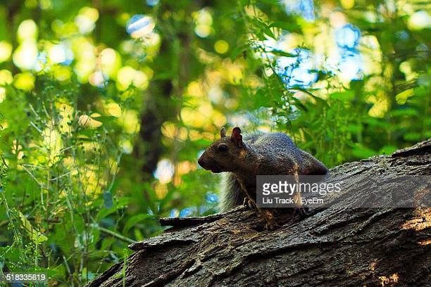 squirrel on tree trunk - liu he stock pictures, royalty-free photos & images