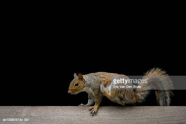 squirrel on wooden fence, close-up - eric van den brulle stock-fotos und bilder
