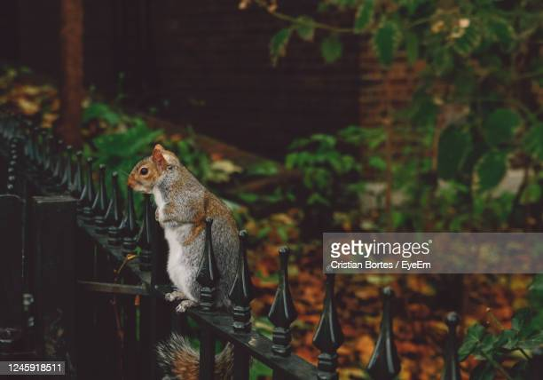 squirrel outdoors - bortes stock pictures, royalty-free photos & images