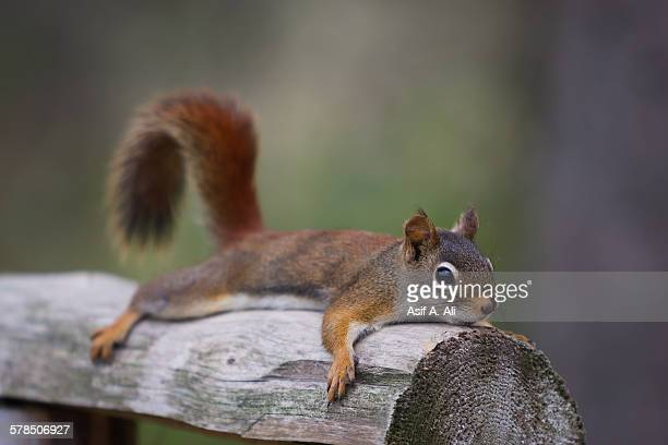 squirrel pancakes - squirrel stock pictures, royalty-free photos & images