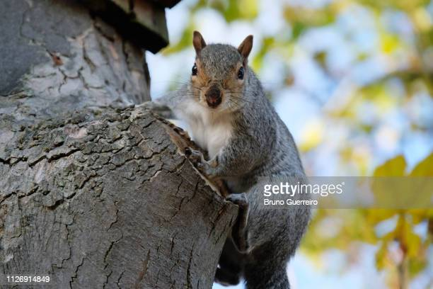 squirrel perching on tree trunk - tree squirrel stock photos and pictures