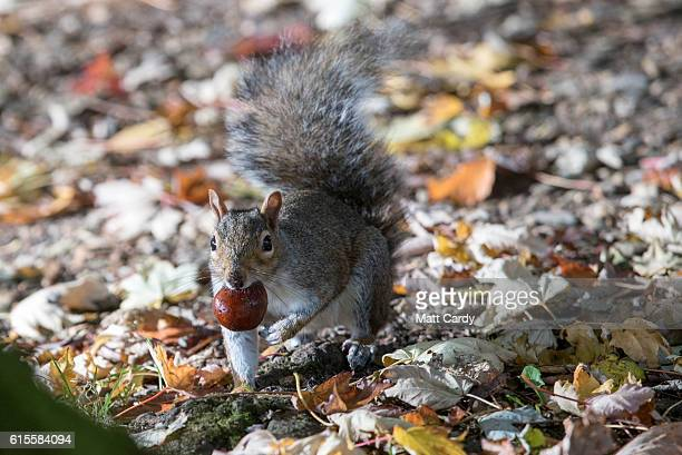A squirrel picks up a conker beneath trees that are beginning to show their autumn colours in Royal Victoria Park on October 19 2016 in Bath England...