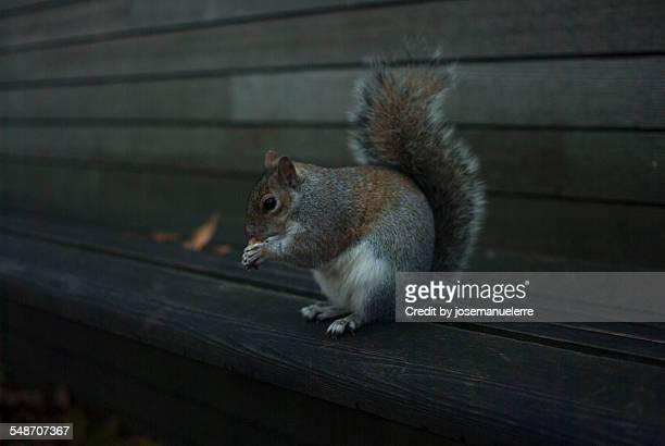 squirrel - josemanuelerre fotografías e imágenes de stock