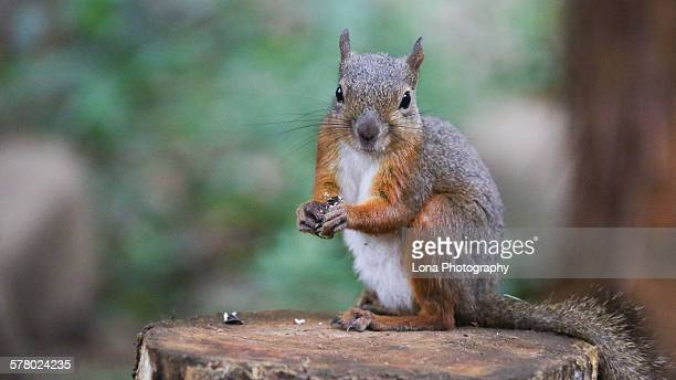 squirrel - リス ストックフォトと画像