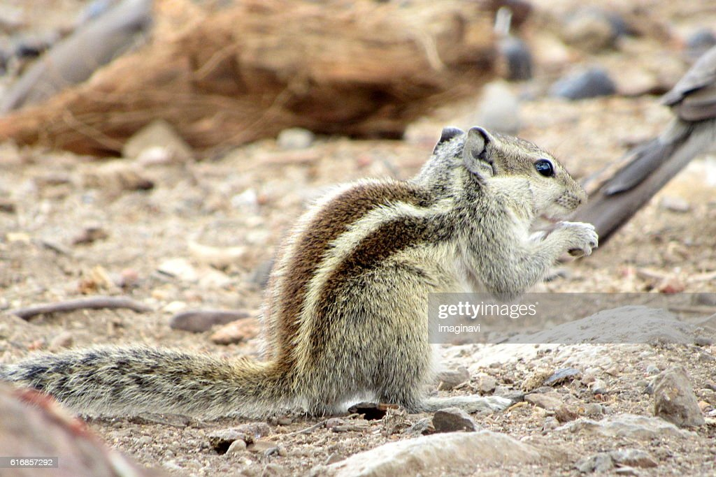 Squirrel : Stock Photo