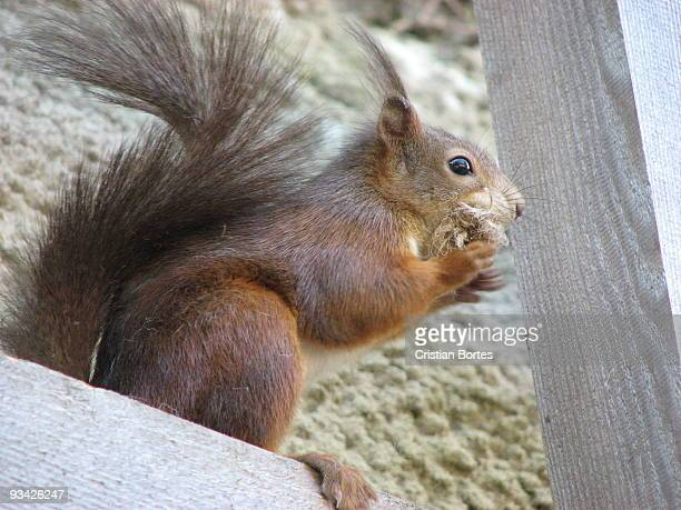 squirrel - bortes cristian stock photos and pictures