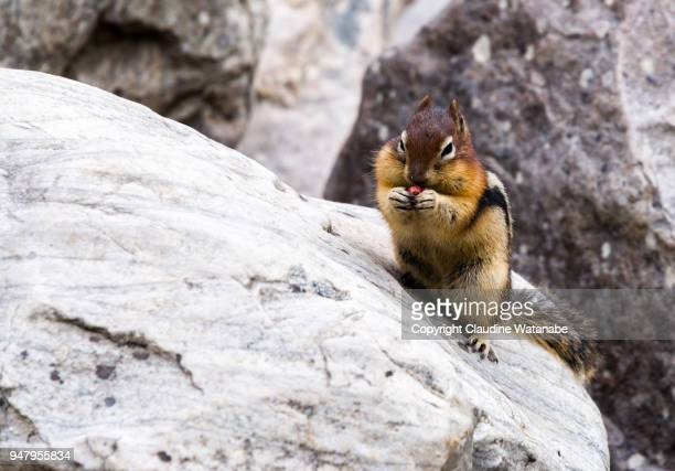 squirrel - moraine lake stock pictures, royalty-free photos & images