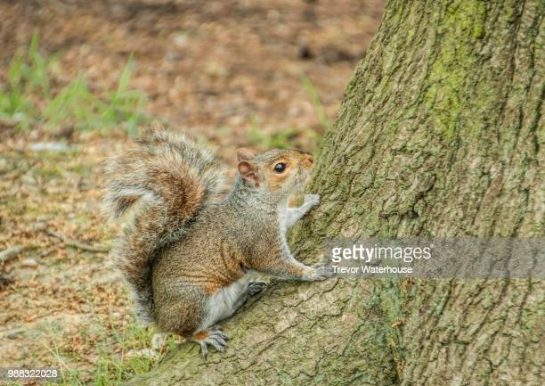 squirrel - gray squirrel stock pictures, royalty-free photos & images