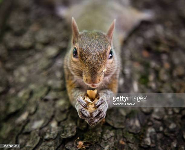 squirrel - gray squirrel stock photos and pictures