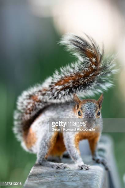 squirrel portrait - nuts magazine stock pictures, royalty-free photos & images