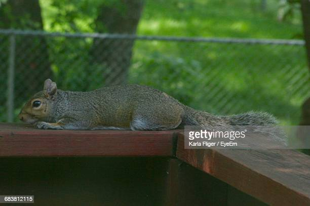 Squirrel Resting On Wooden Railing