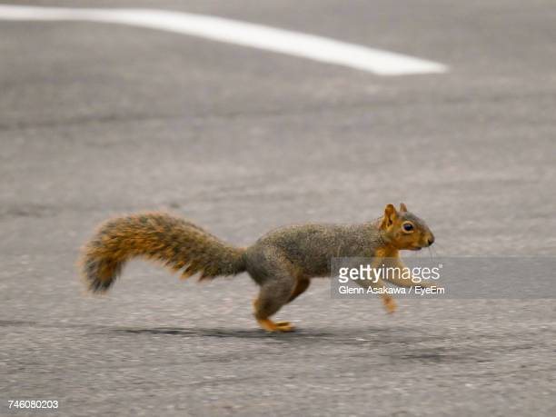 squirrel running on street - squirrel stock pictures, royalty-free photos & images