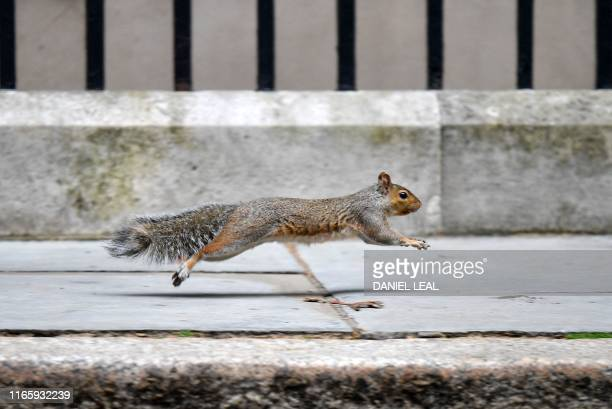 Squirrel runs past 10 Downing Street in central London on September 4, 2019. - Prime Minister Boris Johnson raised the prospect of a snap election on...