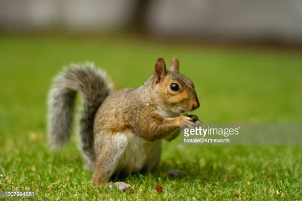 squirrel sideview - up close - gray squirrel stock pictures, royalty-free photos & images