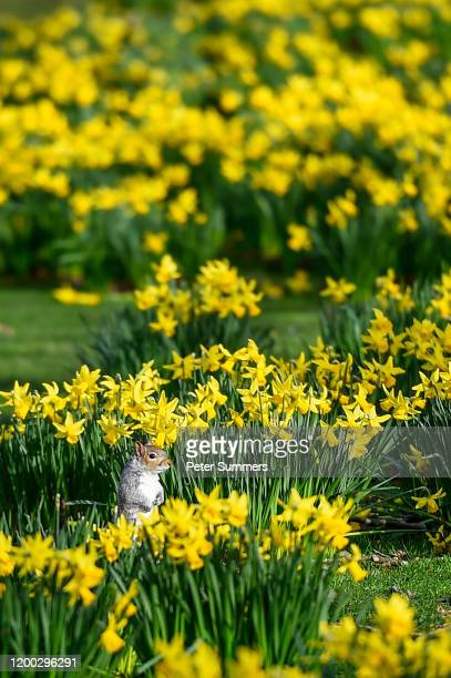 A squirrel sits among daffodils on a sunny day in St James' Park on February 12 2020 in London England High winds rain and snow from Storm Ciara has...