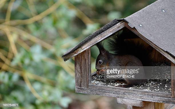A squirrel sits in a birdhouse in Eichenau near Munich southern Germany on April 2 2013 Winter weather returned to Germany with temperatures of 2...