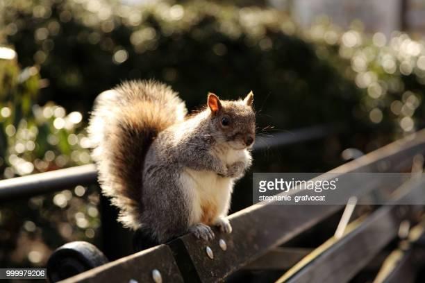Squirrel sitting on a bench, Union Square Park, Manhattan, New York, America, USA