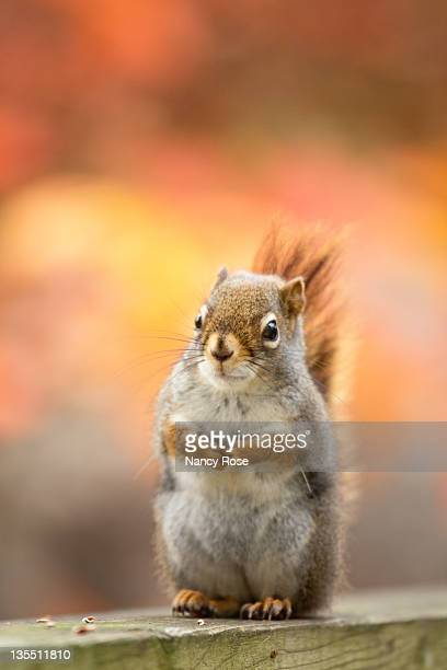 squirrel sitting on deck - bedford nova scotia stock pictures, royalty-free photos & images
