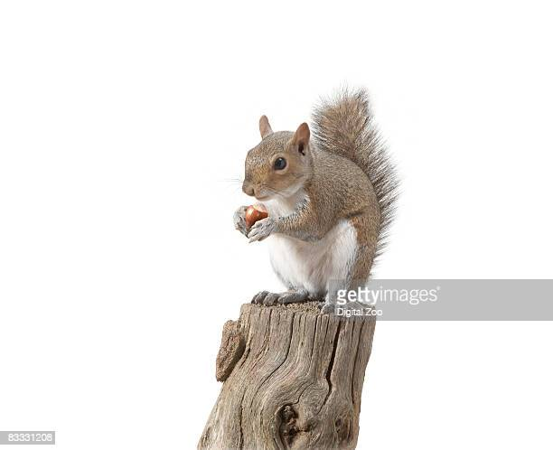 Squirrel sitting on log eating nut