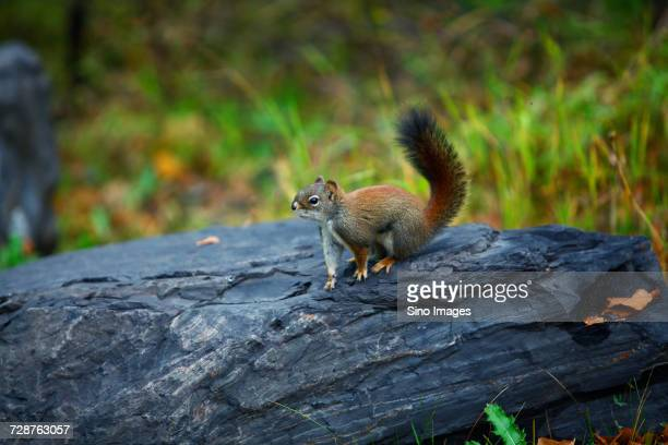 squirrel sitting on rock, canada - image stock pictures, royalty-free photos & images