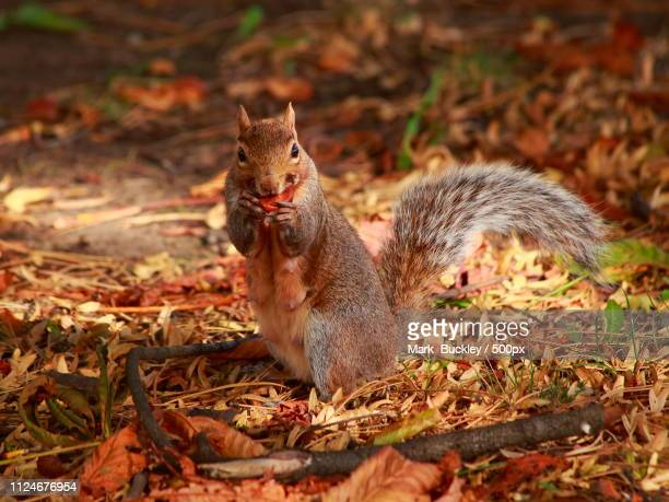 squirrel snack time - gray squirrel stock pictures, royalty-free photos & images