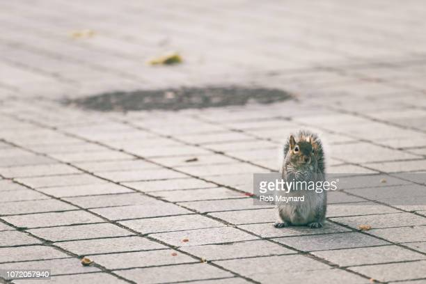 squirrel stand on the path - ammunition magazine stock photos and pictures