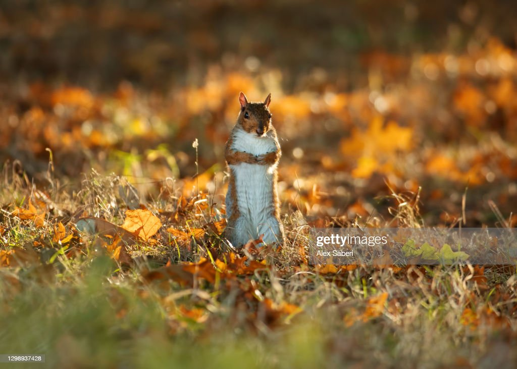 A squirrel stands up. : Stock Photo