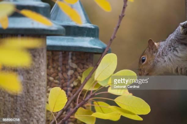 squirrel tempted by nuts - サットンコールドフィールド ストックフォトと画像
