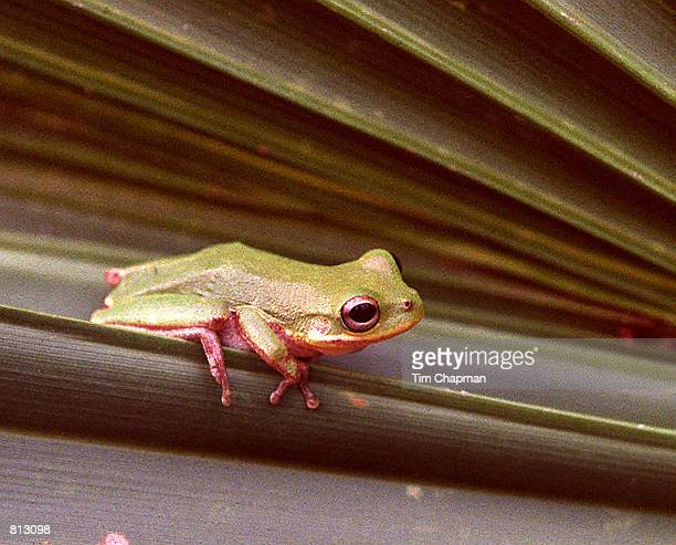Squirrel Tree Frog on a palm frond in Everglades National Park in the Pine/Palmetto area where limestone solution holes form small ponds where the...