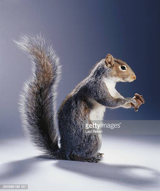 Squirrel with acorn, side view