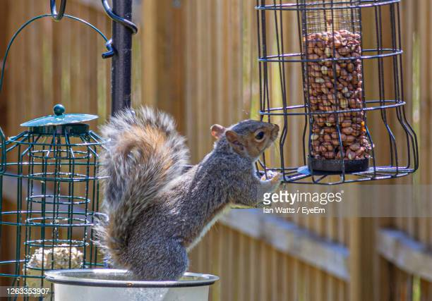 squirrel working out how to get to the peanuts. - squirrel stock pictures, royalty-free photos & images