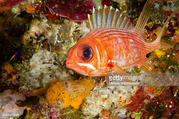 squirrelfish, caribbean - squirrel fish stock photos and pictures