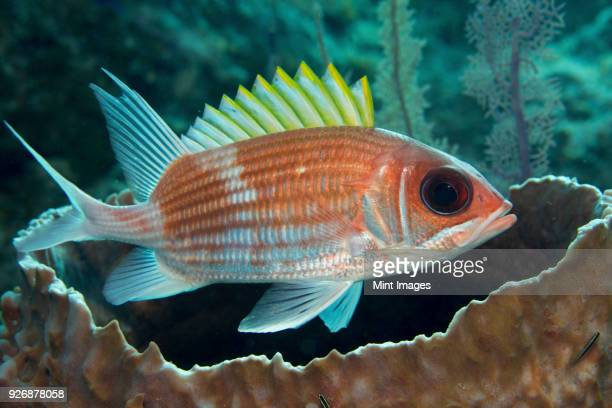 squirrelfish (holocentrus adscensionsis) finds shelter near a large barrel sponge. - squirrel fish stock photos and pictures