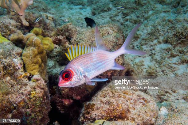 Squirrelfish in St. Croix, U.S. Virgin Islands.